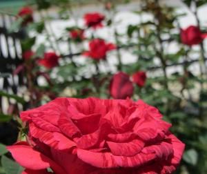 Раза макросъемка, Макросъемка красной розы в саду.