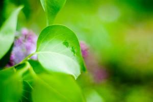 примеры написания синквейнов, макросъемка листьев сирени.