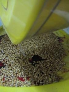как перебрать пшеницу, как сделать чтобы пшеница не плесневела,