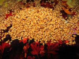 проросшие пшеничные зерна.