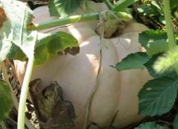 Такую тыкву мы выращеваем на своем огороде в частном доме.