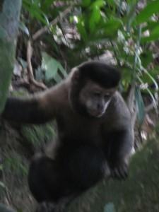 Бразилия обезьяны осенью в городском парке.