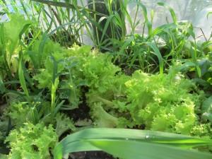 Салат растущий в крыму, свежий крымский салатный лист.
