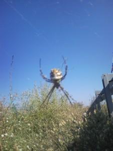 Красивый паук которого я увидел в Крыму, пауки крыму.
