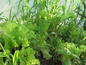 польза зеленого салата в косметологии, как сохранить полезные свойства зеленого салата при кулинарной обработке.