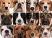 Сторожевые породы собак для квартиры, Короткошерстные породы собак для квартиры