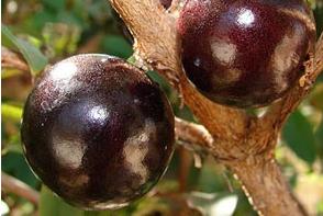 Brazilian grapes