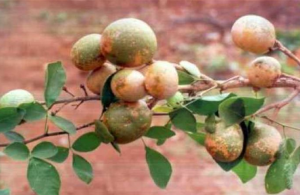 bale or Golden Apple