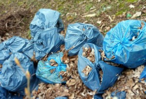 bags-of-blue-garbage-on-lawn-with-leaves