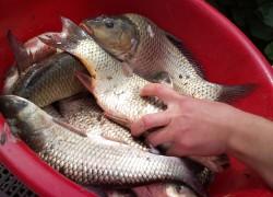 Где лучше всего покупать свежую рыбу, Можно ли покупать несвежую рыбу, Как выбирать свежемороженую рыбу, Как выбрать замороженную рыбу,