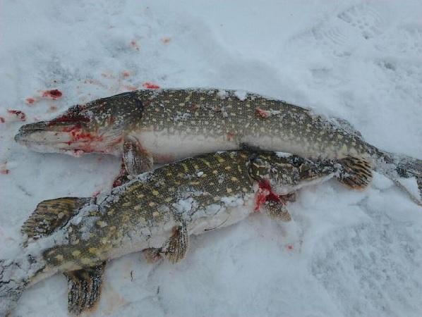 Как ловить щуку зимой на жерлицу